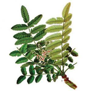 thao-duoc-teresa-herbs-cay-nhu-huong-an-do