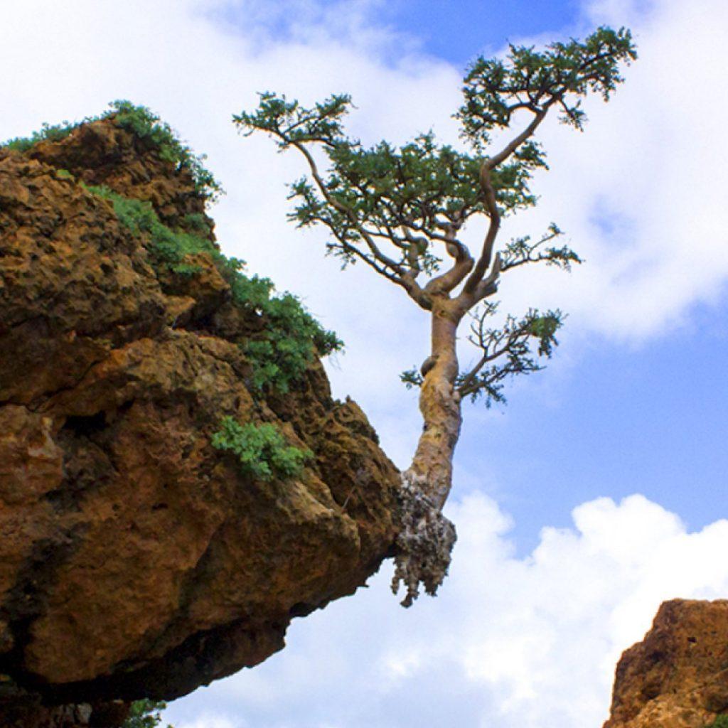 cây nhũ hương Ấn Độ