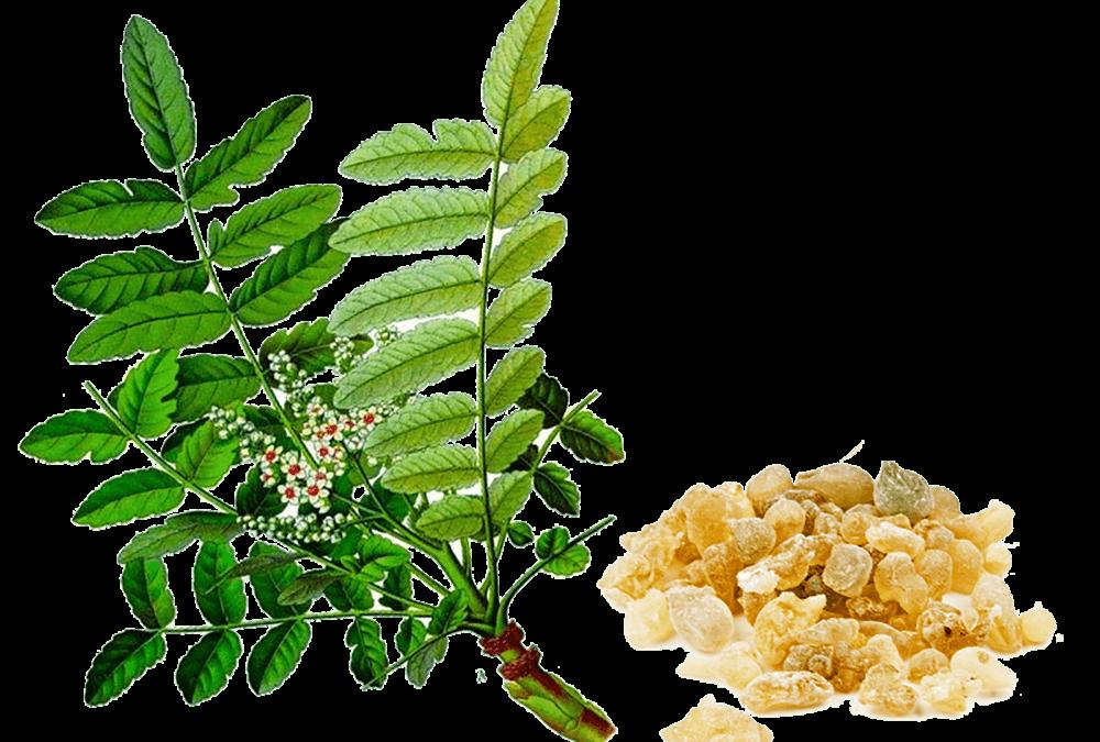 Nhũ hương Boswellia – Dược thảo điều trị các bệnh viêm mãn tính
