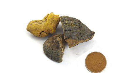 Công dụng của nấm Thượng Hoàng (Phellinus linteus) trong hỗ trợ điều trị ung thư và các bệnh khác