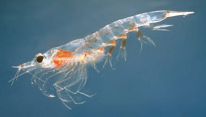 Công dụng chữa bệnh của dầu nhuyễn thể (Dầu tôm đỏ) – Krill Oil